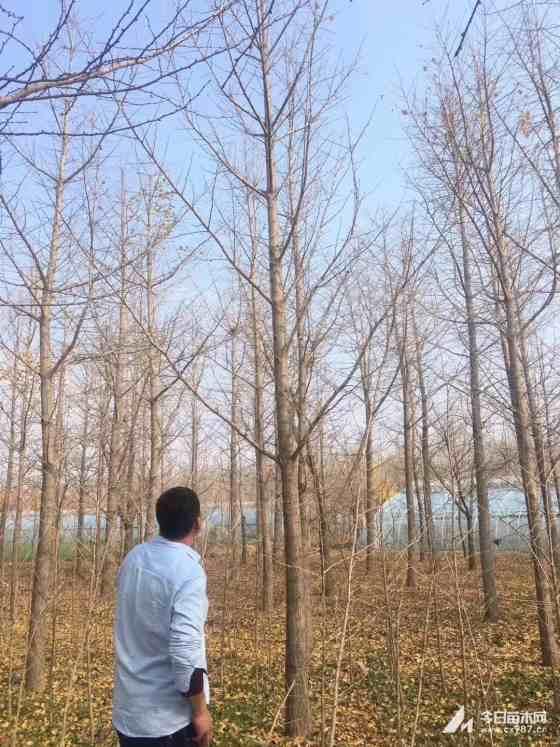 18公分銀杏樹價格 江蘇銀杏樹基地