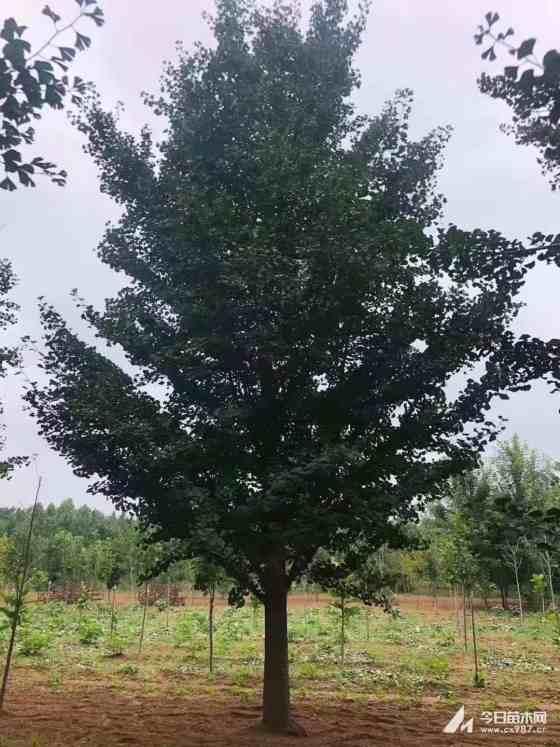 25公分银杏树价格 江苏银杏树基地