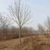 8公分七叶树价格 江苏七叶树基地