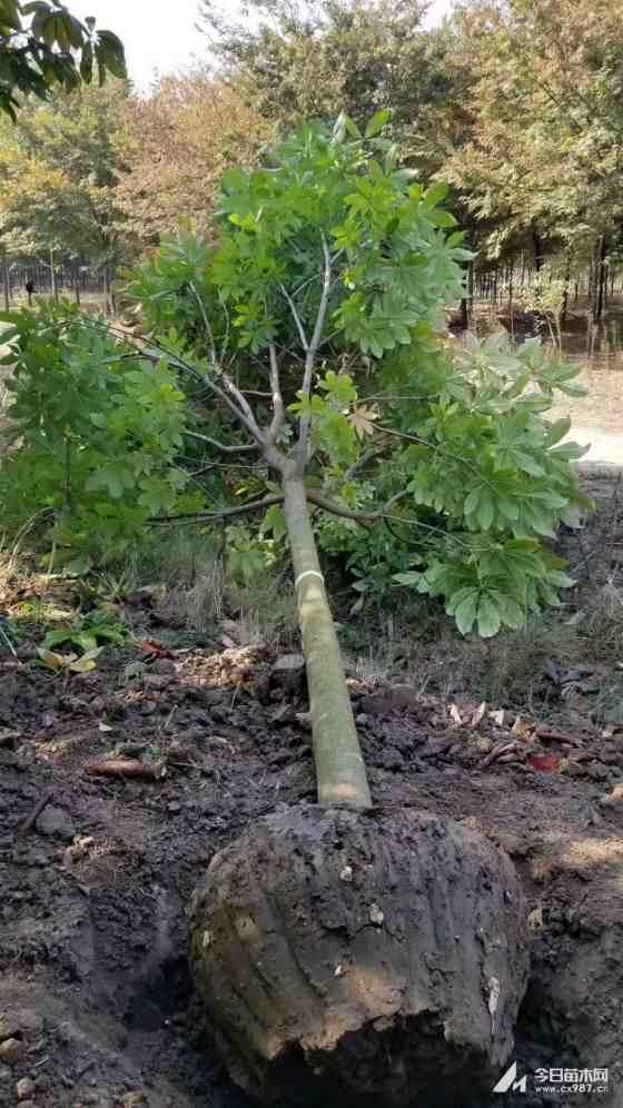 8公分七葉樹價格 江蘇七葉樹基地
