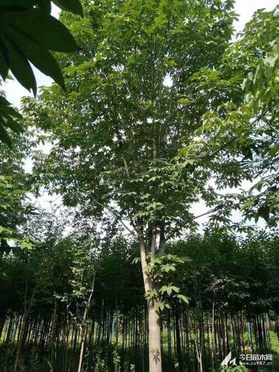 10公分七葉樹價格 江蘇七葉樹基地