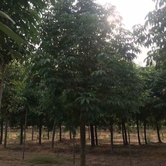 10公分七叶树价格 江苏七叶树基地