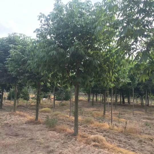 12公分七叶树价格 江苏七叶树基地