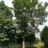 15公分七叶树价格 江苏七叶树基地