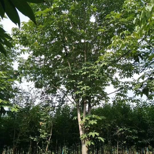 18公分七叶树价格 江苏七叶树基地