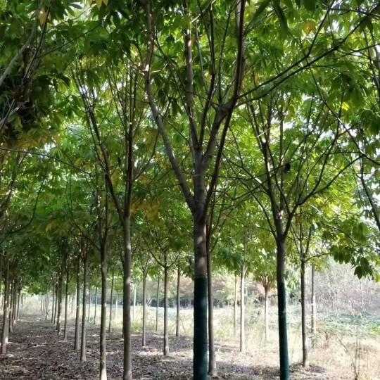 25公分七叶树价格 江苏七叶树基地