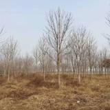 5公分七叶树价格 江苏七叶树基地