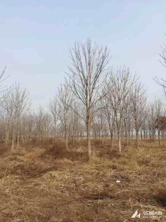 5公分七葉樹價格 江蘇七葉樹基地