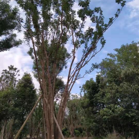 叢生黃連木價格 成都叢生黃連木基地批發