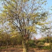 15公分丛生朴树移栽苗