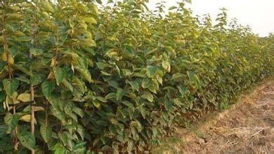 日本甜柿苗价格 泰安柿子苗价格
