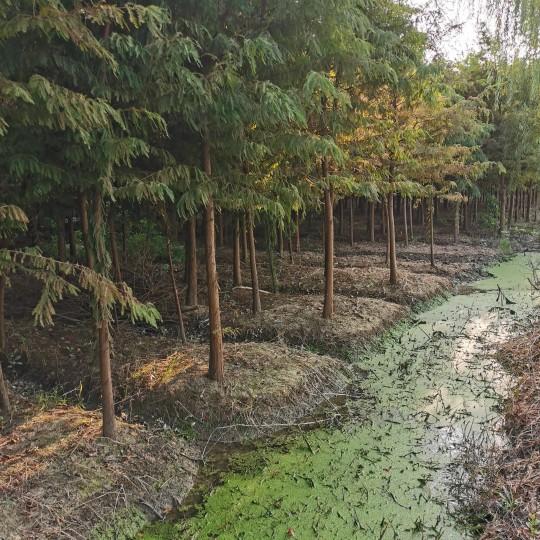 6公分中山杉樹苗價格  中山杉基地批發