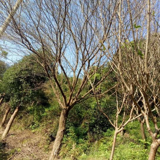 地徑12公分日本早櫻價格