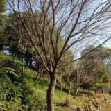 2019日本早樱树苗多少钱一棵?