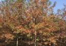 8公分娜塔栎价格 江苏娜塔栎基地