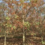 10公分娜塔栎价格 江苏娜塔栎基地
