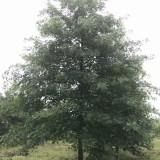 12公分娜塔栎价格 江苏娜塔栎基地