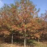 15公分娜塔栎价格 江苏娜塔栎基地