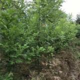 18公分娜塔栎价格 江苏娜塔栎基地
