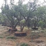 石榴树出售 古桩石榴树价格