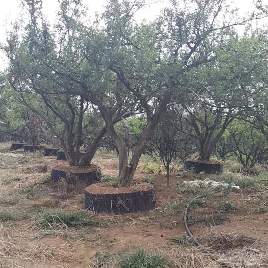 石榴樹出售 古樁石榴樹價格