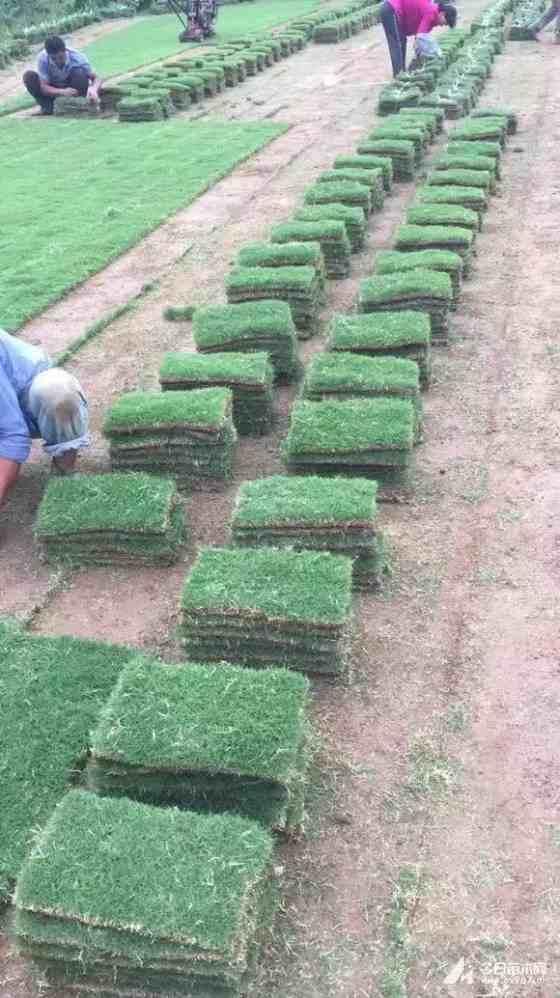 百慕大草皮价格 百慕大草卷多少钱 哪里有百慕大草皮
