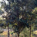 枇杷树小苗批发 13公分枇杷树价格