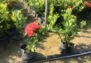 鳳凰木 紅花楹樹 (高度2米5 ) 鳳凰木價格