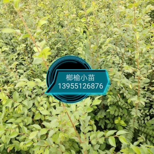 榔榆树小苗价格