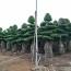 高2米造型榕樹基地直銷 造型榕樹多少錢一棵