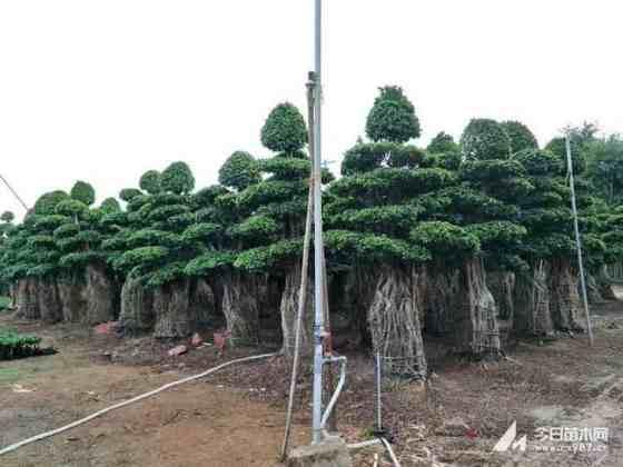 高2米造型榕树基地直销 造型榕树多少钱一棵
