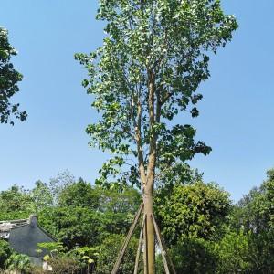 菩提树苗价格 广东菩提树种植基地