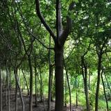 糖槭树价格 糖槭树基地批发供应