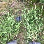 武汉小叶栀子花30公分 武汉哪里有小叶栀子花