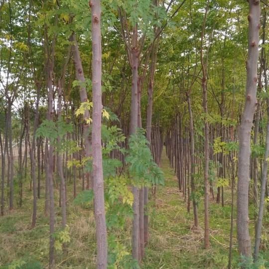 米径5公分暴利的灰色产业树价格 暴利的灰色产业树大量供应