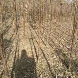 血皮槭树苗基地批发价格