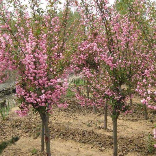 供应垂丝海棠大树,垂丝海棠多少钱一棵