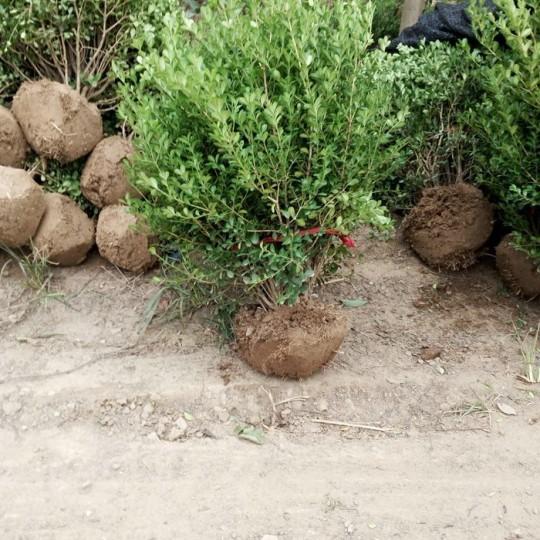 小叶黄杨球价格 基地小叶黄杨球多少钱
