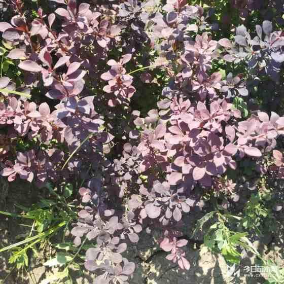 20公分高红叶小檗价格 江苏红叶小檗基地