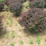 80公分冠幅红叶小檗球价格 江苏红叶小檗球基地