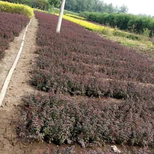 40公分冠幅球紅葉小檗價格 江蘇紅葉小檗基地