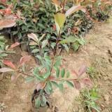 大杯红叶石楠苗批发 红叶石楠大杯苗基地种植