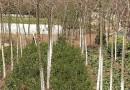 5公分五角枫树苗报价 五角枫种植基地