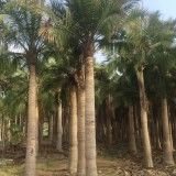15公分国王椰子价格 重庆国王椰子基地