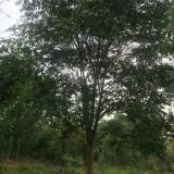 12公分无患子树价格 江苏无患子树基地