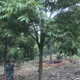 30公分无患子树价格 江苏无患子树基地