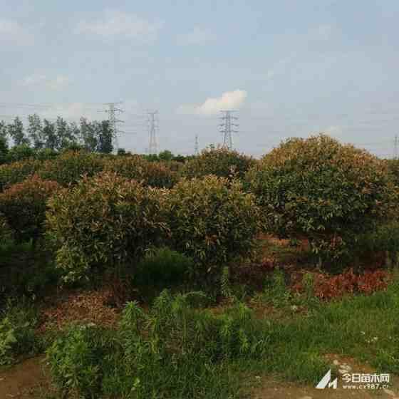 3公分红叶石楠树价格 江苏红叶石楠基地
