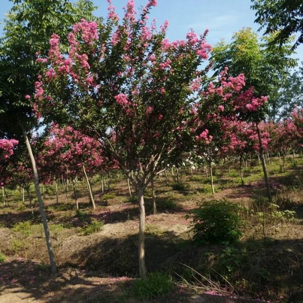 3公分紫薇树价格 江苏紫薇树基地