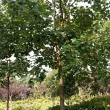 9公分马褂木价格 江苏马褂木基地
