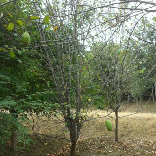 5公分木瓜樹價格 江蘇木瓜樹基地